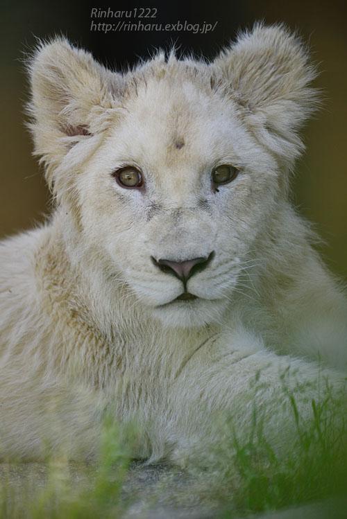 2018.6.2 東北サファリパーク☆ホワイトライオンのひふみたん【White lion】<前編>_f0250322_2121535.jpg