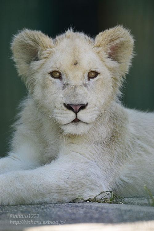 2018.6.2 東北サファリパーク☆ホワイトライオンのひふみたん【White lion】<前編>_f0250322_2123383.jpg