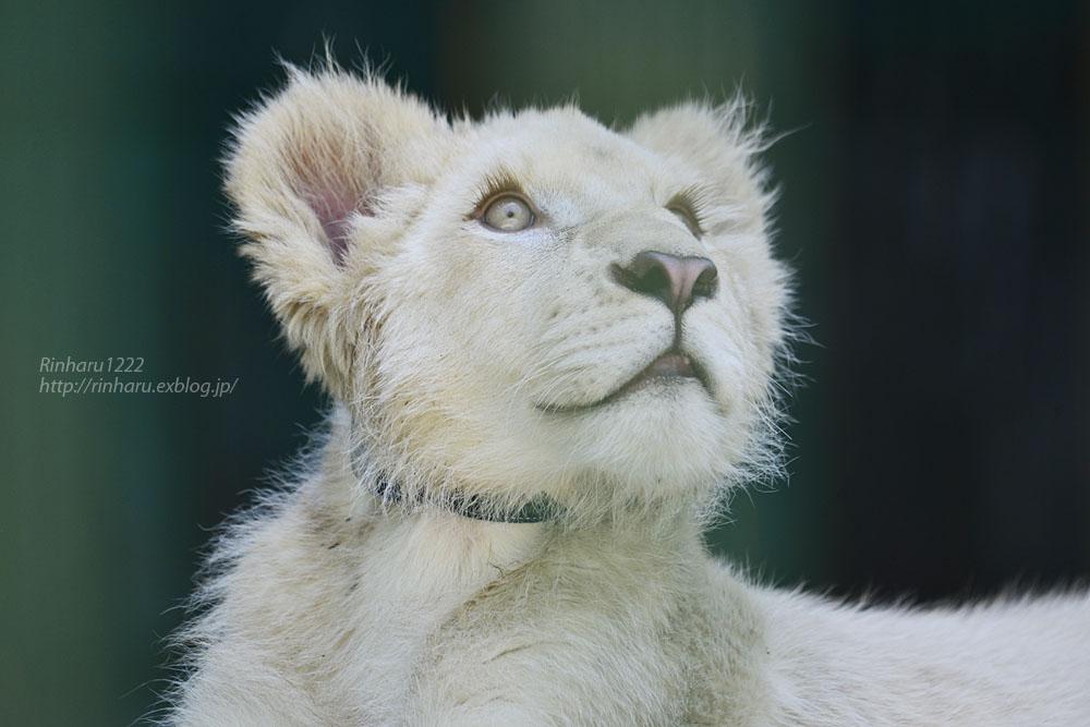 2018.6.2 東北サファリパーク☆ホワイトライオンのひふみたん【White lion】<前編>_f0250322_2123856.jpg