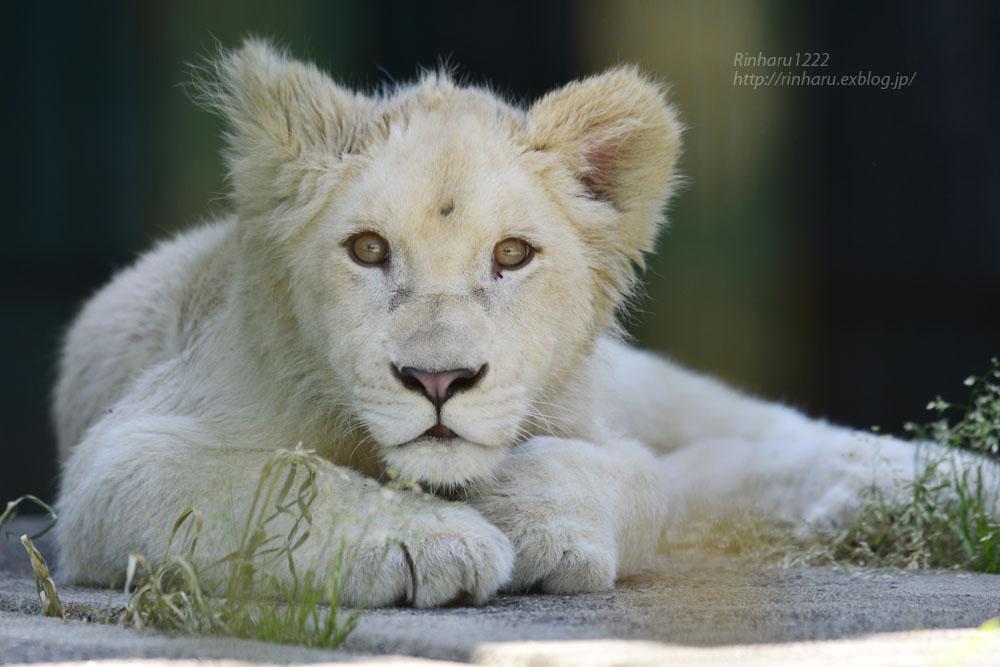 2018.6.2 東北サファリパーク☆ホワイトライオンのひふみたん【White lion】<前編>_f0250322_2125747.jpg