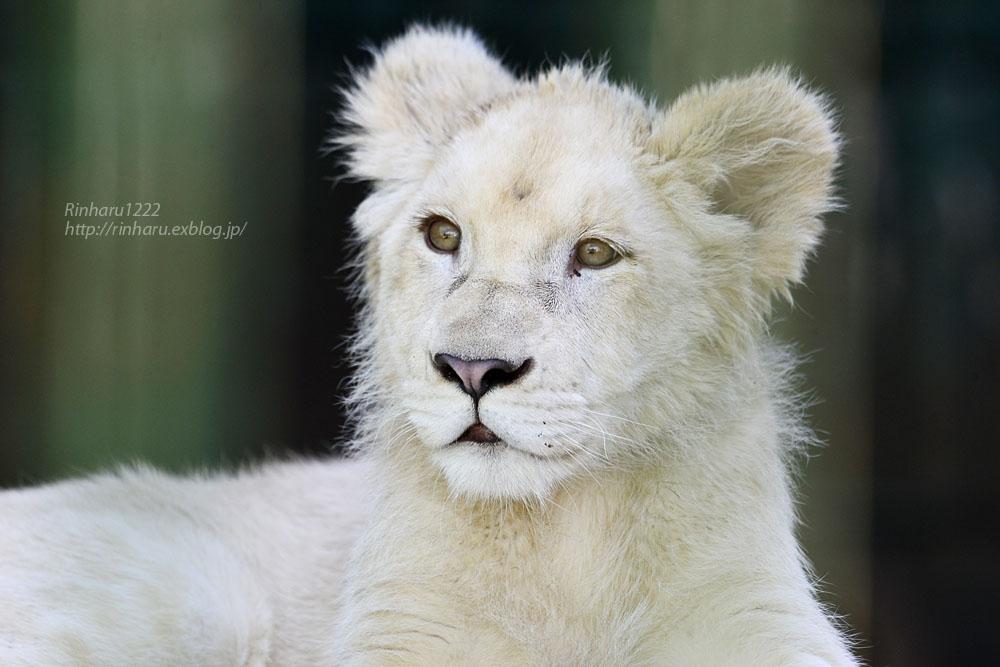 2018.6.2 東北サファリパーク☆ホワイトライオンのひふみたん【White lion】<前編>_f0250322_212855.jpg