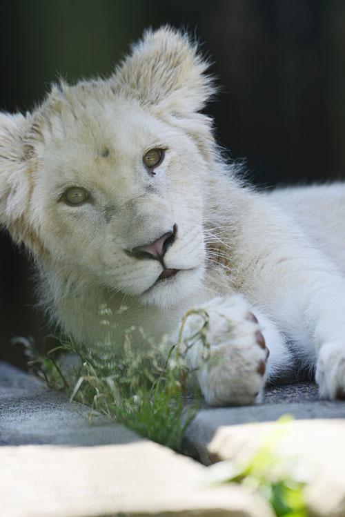 2018.6.2 東北サファリパーク☆ホワイトライオンのひふみたん【White lion】<前編>_f0250322_2131031.jpg