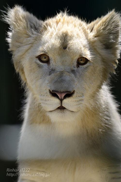 2018.6.2 東北サファリパーク☆ホワイトライオンのひふみたん【White lion】<前編>_f0250322_2131650.jpg