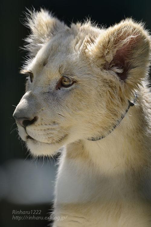 2018.6.2 東北サファリパーク☆ホワイトライオンのひふみたん【White lion】<前編>_f0250322_2132124.jpg