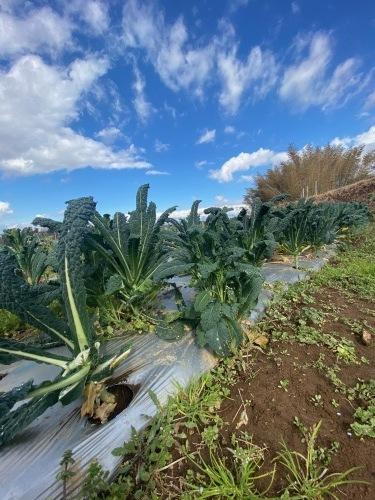 今朝も盛沢山の収穫です 蕪 葱 ルッコラ 赤からし菜 緑からし菜_c0222448_12072289.jpg