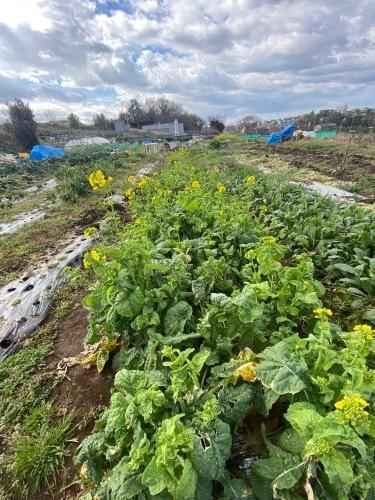 今朝も盛沢山の収穫です 蕪 葱 ルッコラ 赤からし菜 緑からし菜_c0222448_12073442.jpg