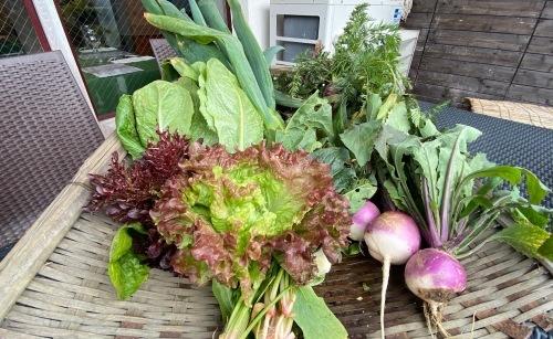 今朝も盛沢山の収穫です 蕪 葱 ルッコラ 赤からし菜 緑からし菜_c0222448_12075297.jpg