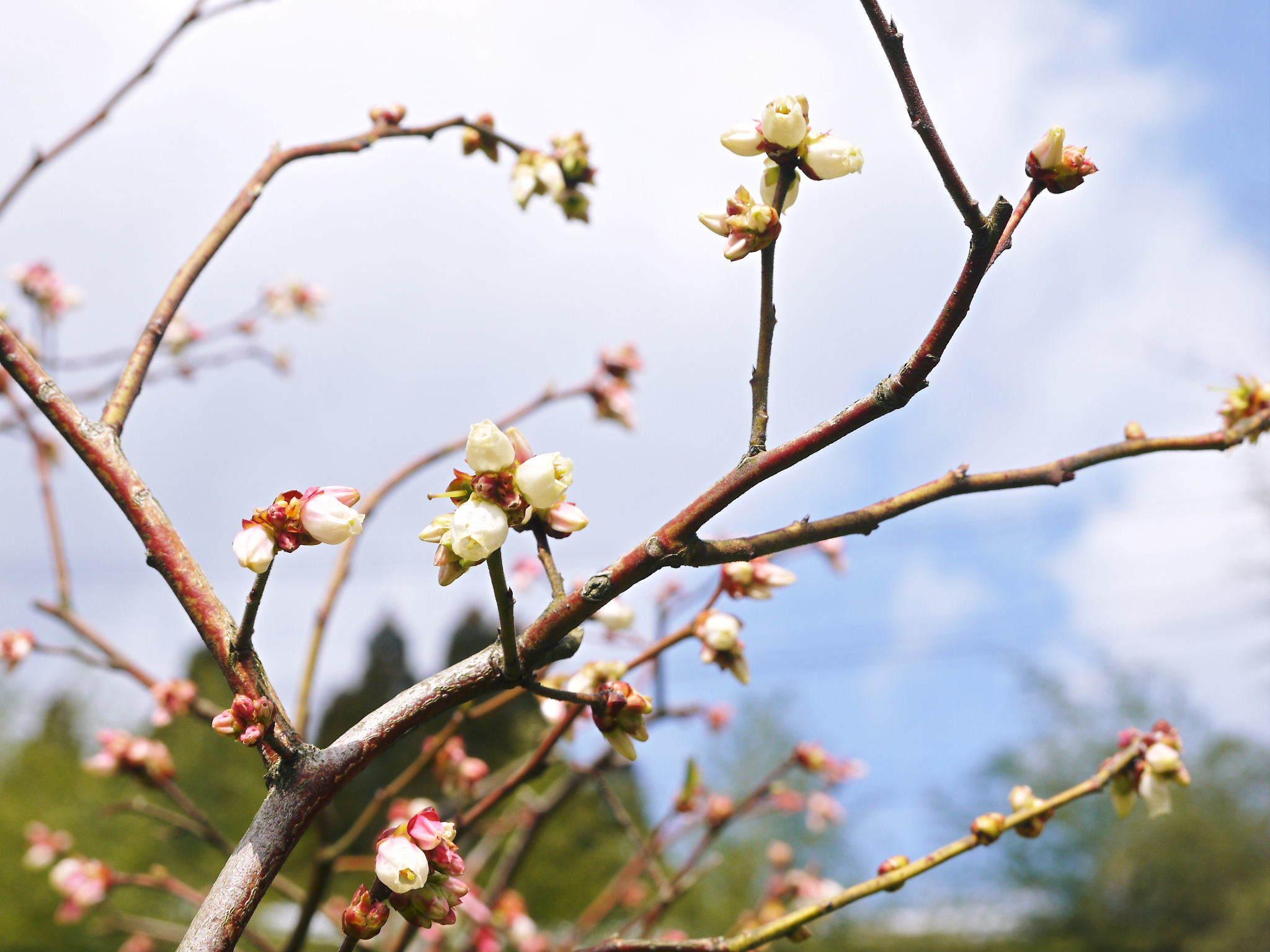 ブルーベリーの開花2020 今年も順調に成長中ですが、新たな敵?出現⁉_a0254656_16515495.jpg