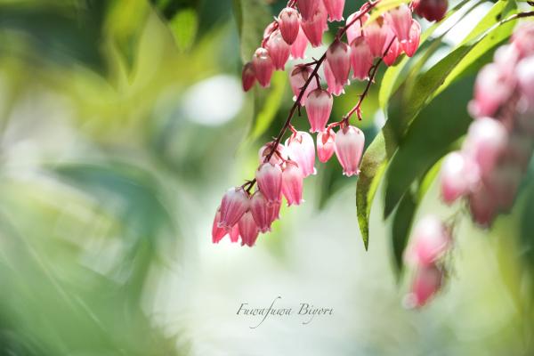 ピンクのアセビ **_d0344864_17331293.jpg