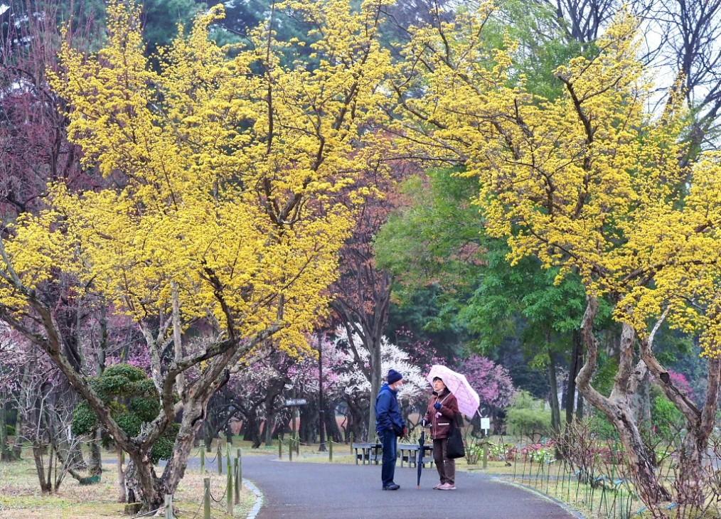 サンシュユの古木と梅の花 ほか_c0305565_17425706.jpg