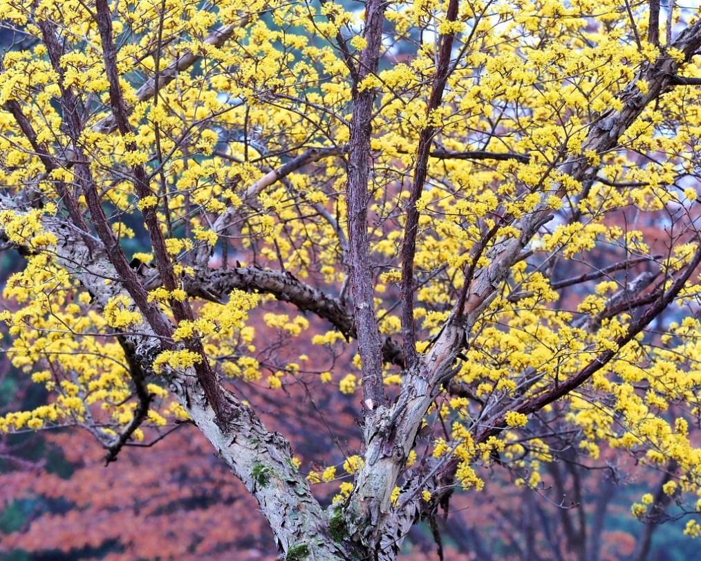 サンシュユの古木と梅の花 ほか_c0305565_17430941.jpg