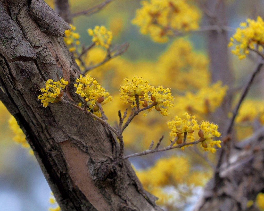 サンシュユの古木と梅の花 ほか_c0305565_17432238.jpg