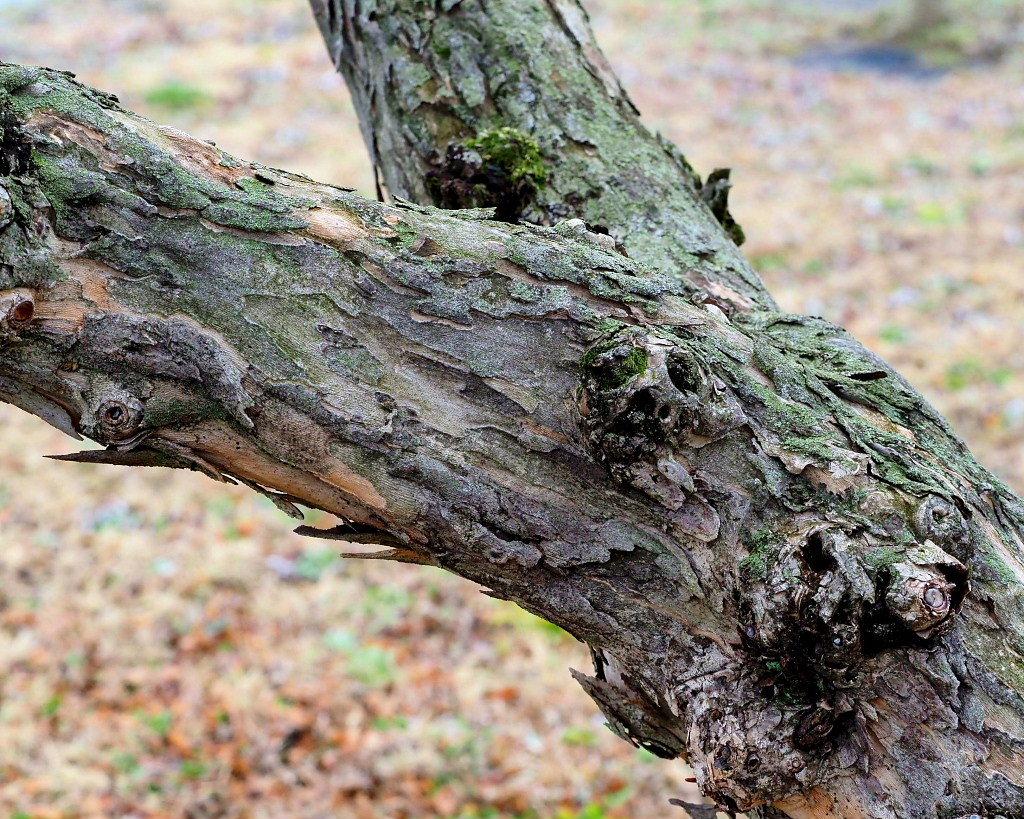 サンシュユの古木と梅の花 ほか_c0305565_17433617.jpg