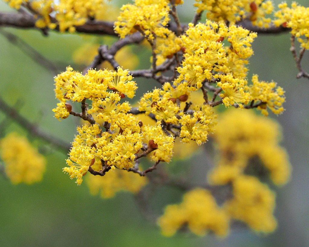 サンシュユの古木と梅の花 ほか_c0305565_17435109.jpg