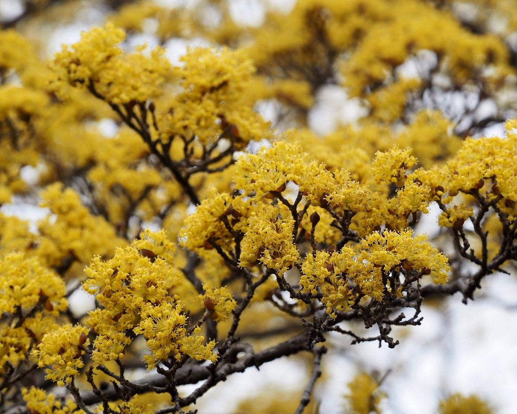 サンシュユの古木と梅の花 ほか_c0305565_17440744.jpg