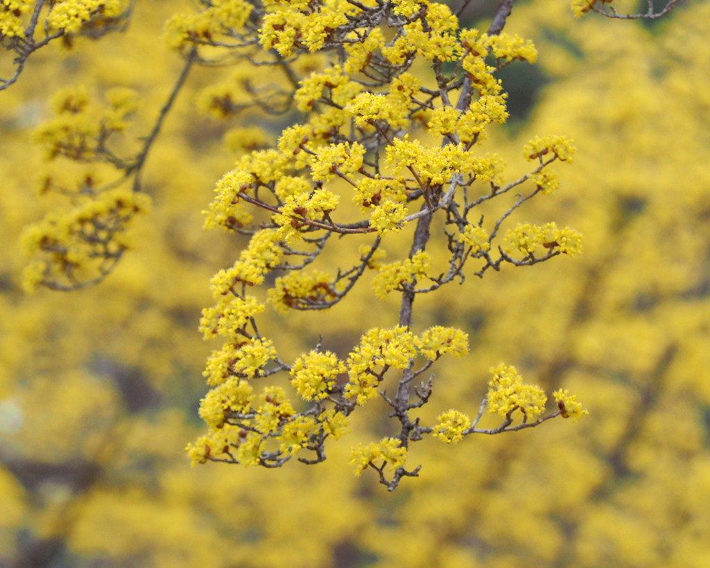 サンシュユの古木と梅の花 ほか_c0305565_17441881.jpg