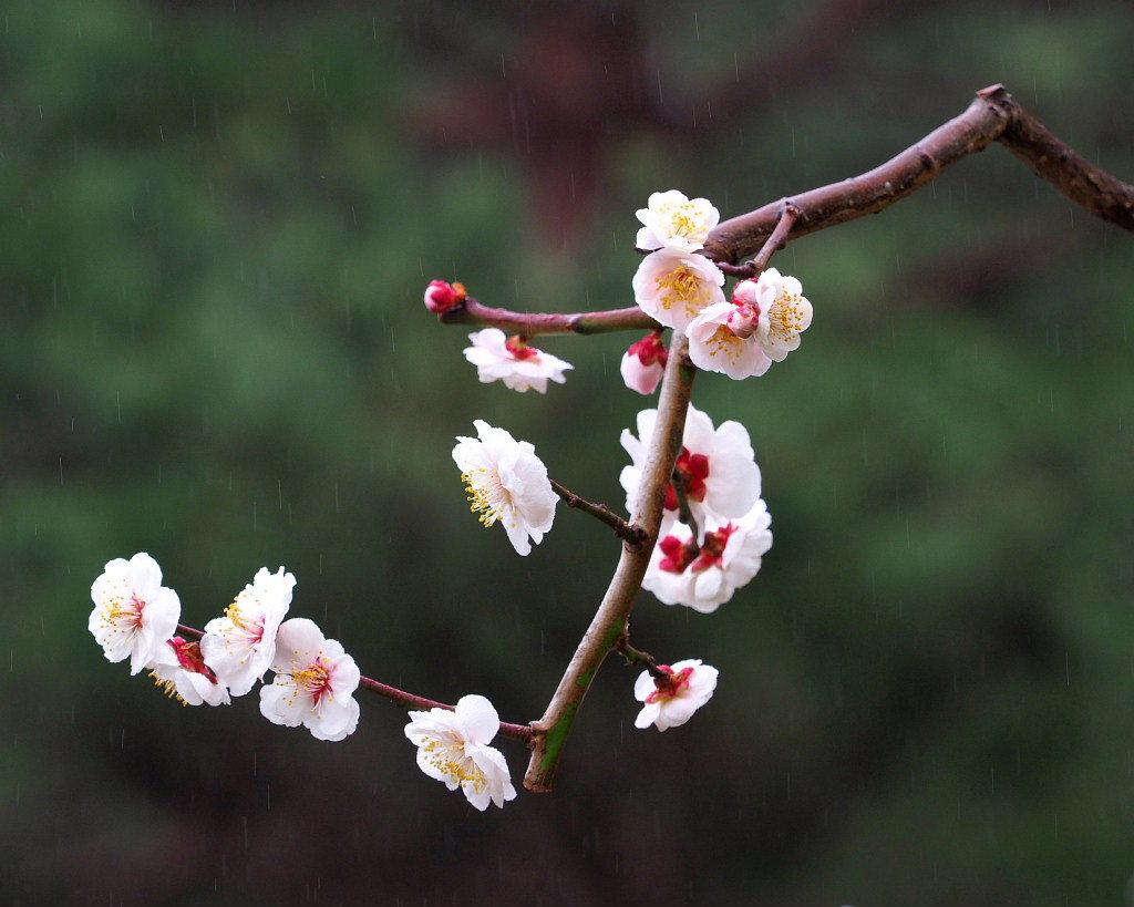 サンシュユの古木と梅の花 ほか_c0305565_17444247.jpg