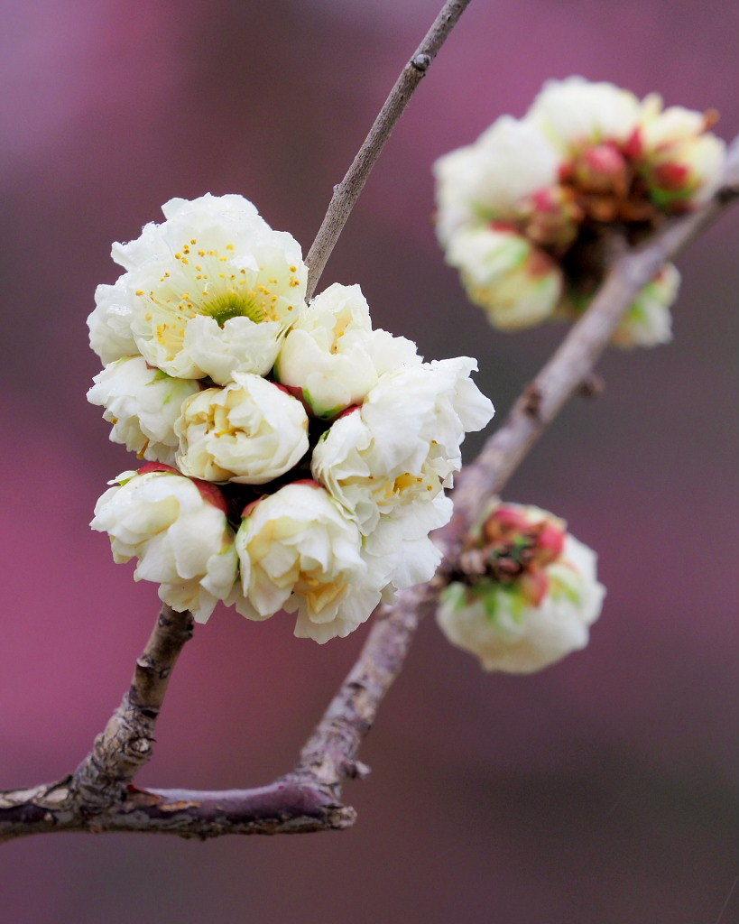 サンシュユの古木と梅の花 ほか_c0305565_17445520.jpg