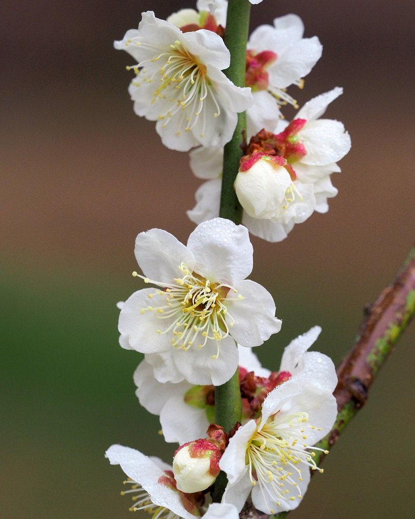 サンシュユの古木と梅の花 ほか_c0305565_17450911.jpg