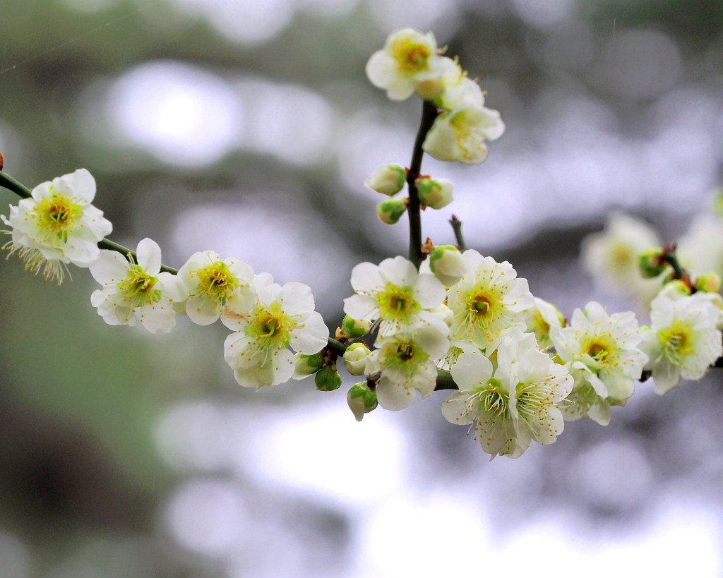 サンシュユの古木と梅の花 ほか_c0305565_17452182.jpg