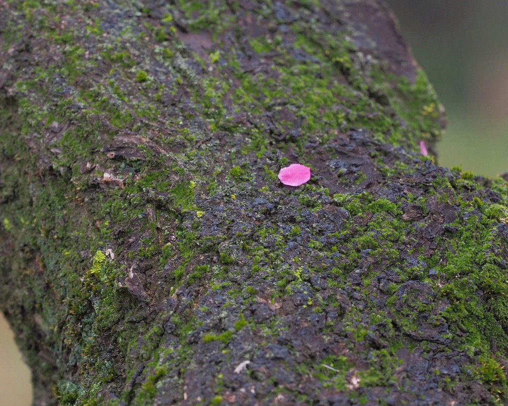 サンシュユの古木と梅の花 ほか_c0305565_17454974.jpg