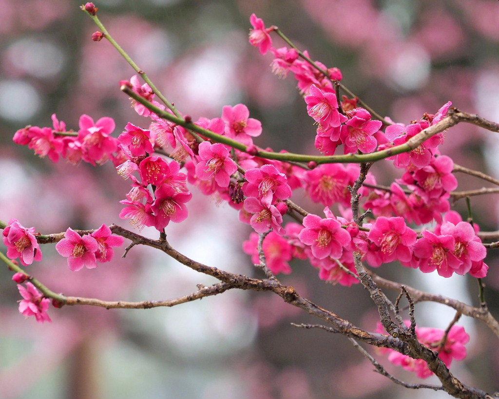 サンシュユの古木と梅の花 ほか_c0305565_17460315.jpg