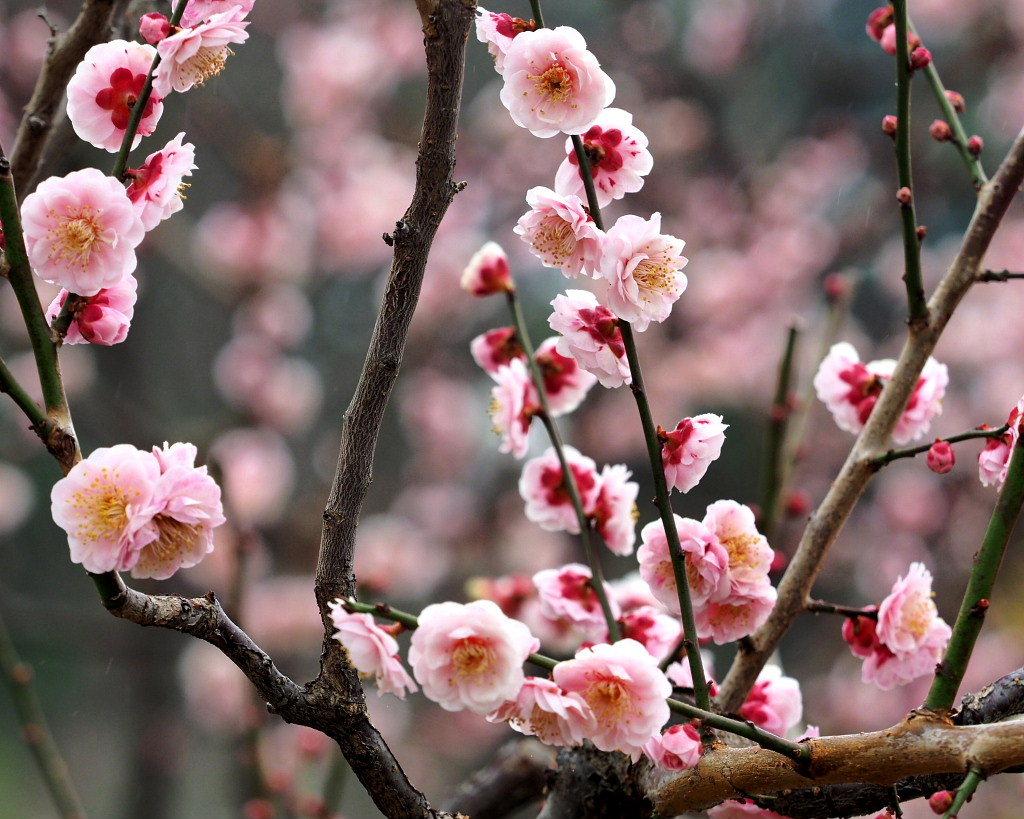 サンシュユの古木と梅の花 ほか_c0305565_17461547.jpg