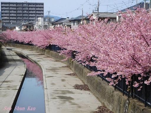 淀の河津桜_a0164068_00053804.jpg