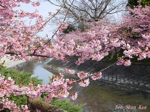 淀の河津桜_a0164068_00053981.jpg