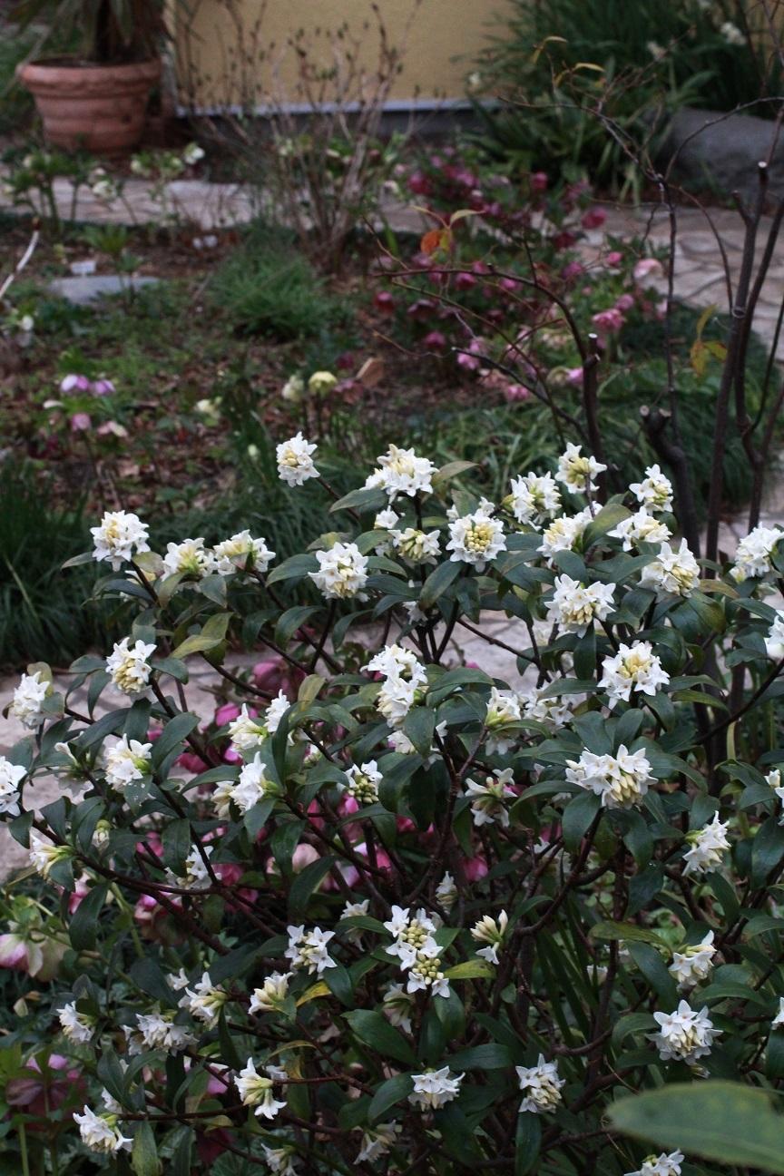 白花の沈丁花_a0107574_18471289.jpg