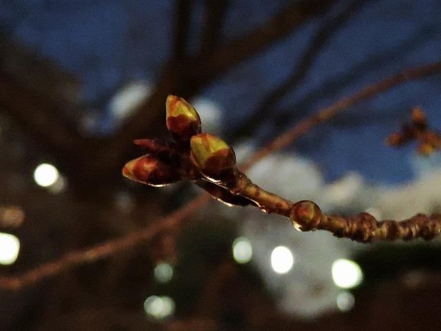 桜クエスト_c0062832_15552638.jpg