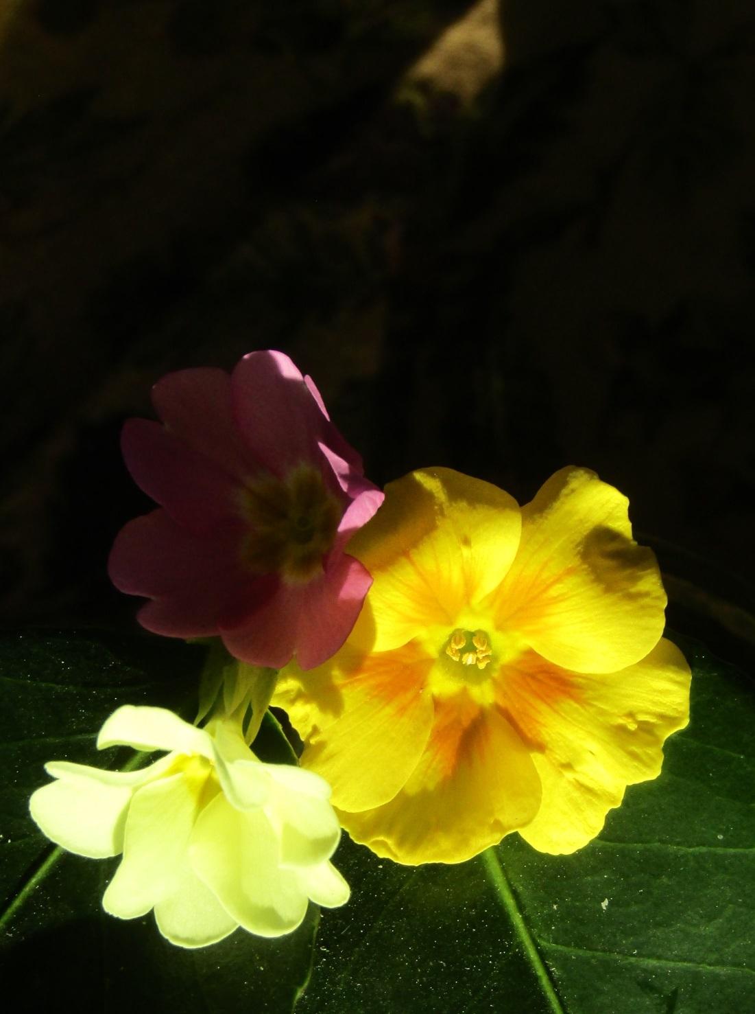 春の花 / プリムラ_b0287748_03485920.jpg