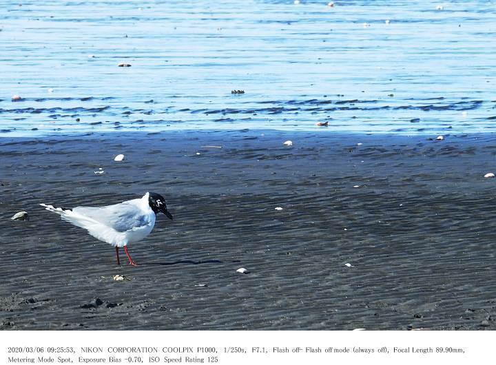 ふなばし三番瀬海浜公園 2020.3.6_c0062451_22044246.jpg