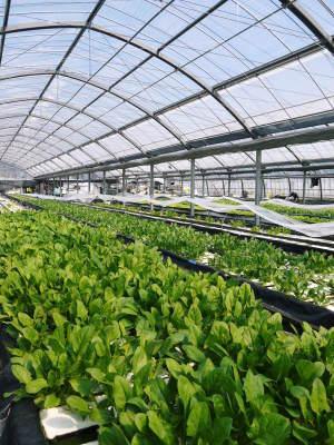 水耕栽培の新鮮野菜 無農薬栽培の生野菜!新商品!「グリーンクリスピー」の販売に向けて!_a0254656_17061896.jpg