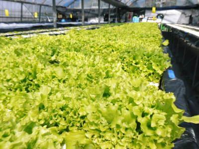 水耕栽培の新鮮野菜 無農薬栽培の生野菜!新商品!「グリーンクリスピー」の販売に向けて!_a0254656_17104649.jpg