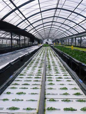水耕栽培の新鮮野菜 無農薬栽培の生野菜!新商品!「グリーンクリスピー」の販売に向けて!_a0254656_17321631.jpg