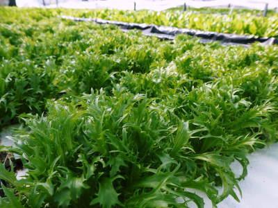 水耕栽培の新鮮野菜 無農薬栽培の生野菜!新商品!「グリーンクリスピー」の販売に向けて!_a0254656_17512199.jpg