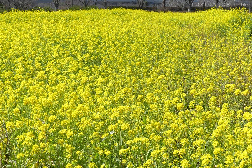 黄色の国_d0100156_19024832.jpg