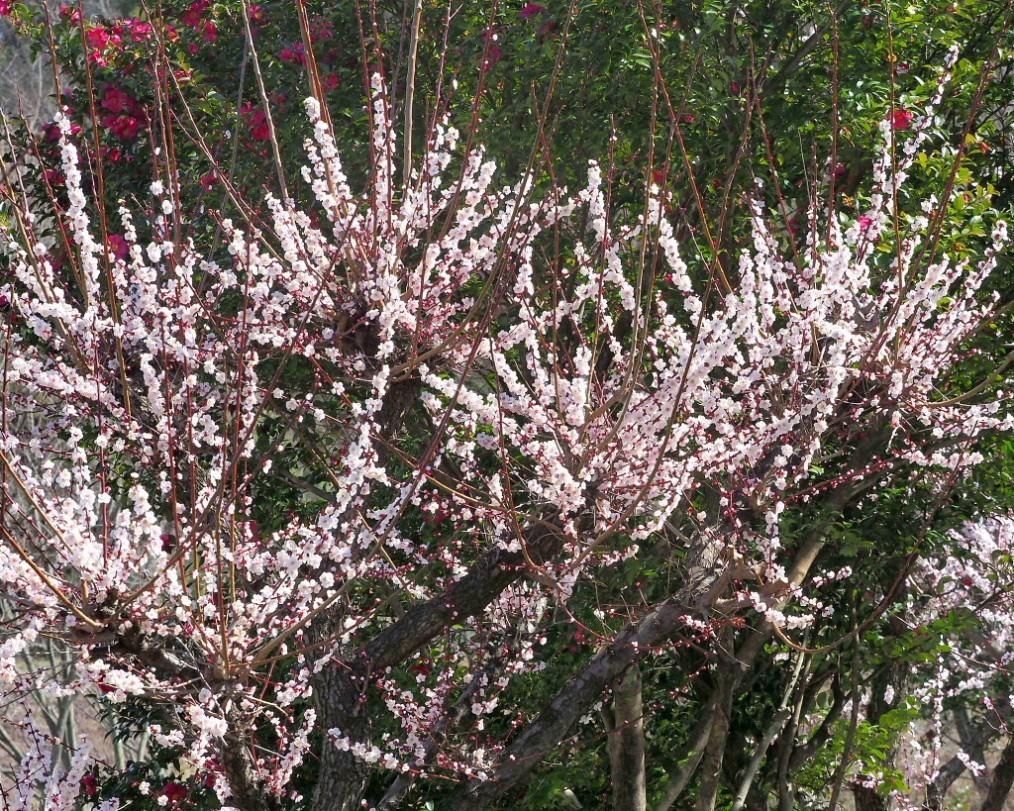 アンズの花をタップリと ほか_c0305565_17425429.jpg