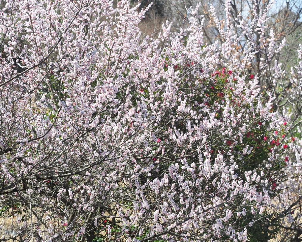アンズの花をタップリと ほか_c0305565_17431852.jpg