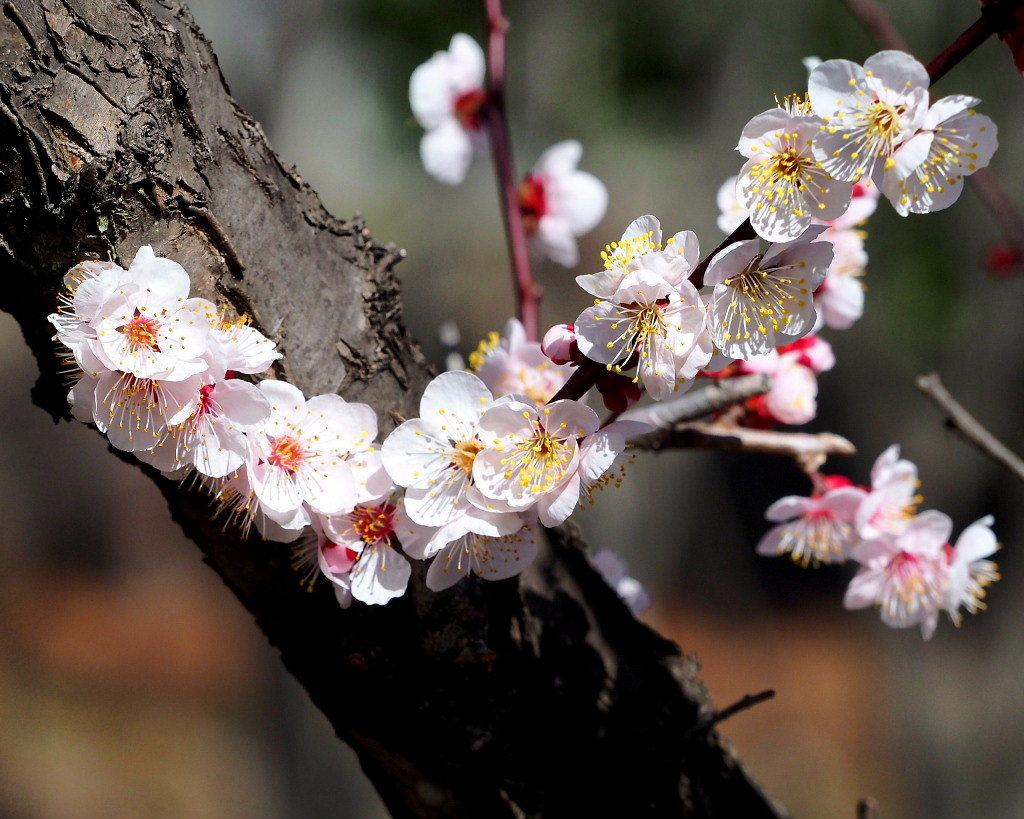 アンズの花をタップリと ほか_c0305565_17440298.jpg