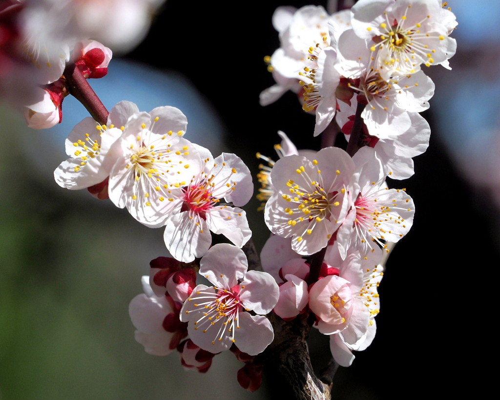 アンズの花をタップリと ほか_c0305565_17441586.jpg