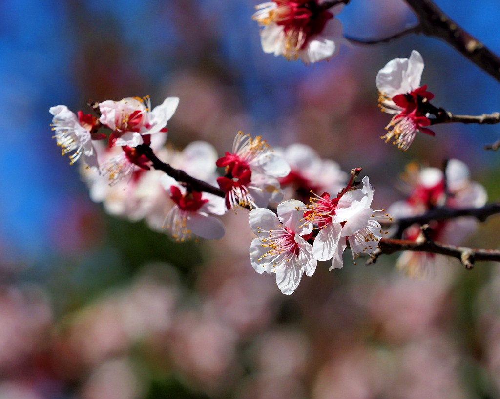 アンズの花をタップリと ほか_c0305565_17445227.jpg
