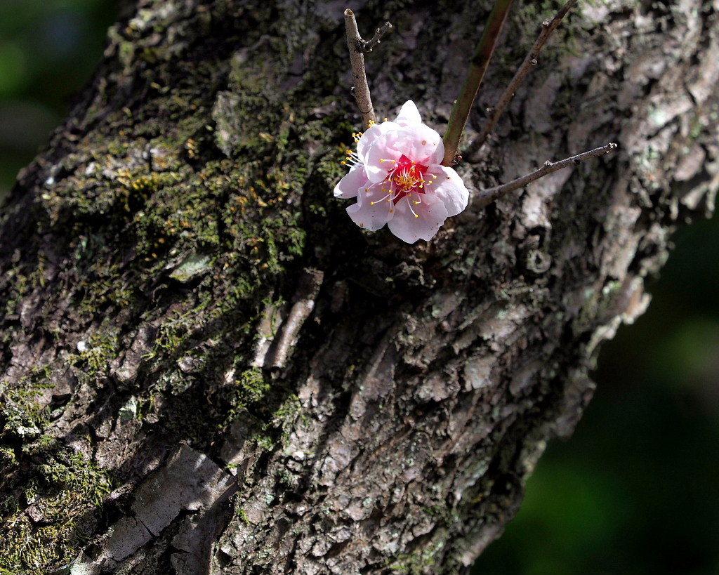アンズの花をタップリと ほか_c0305565_17450884.jpg