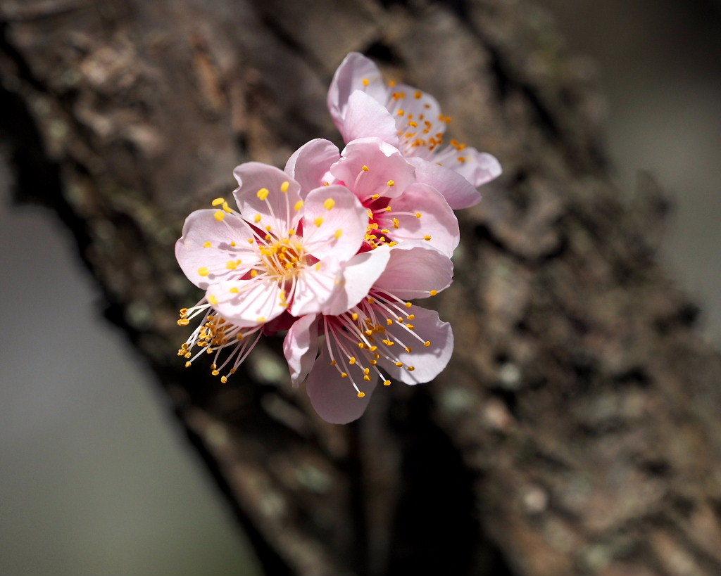 アンズの花をタップリと ほか_c0305565_17451941.jpg