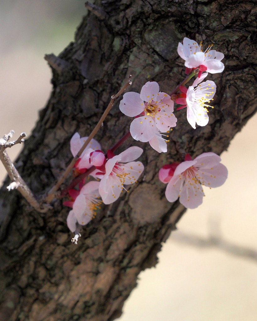 アンズの花をタップリと ほか_c0305565_17453050.jpg