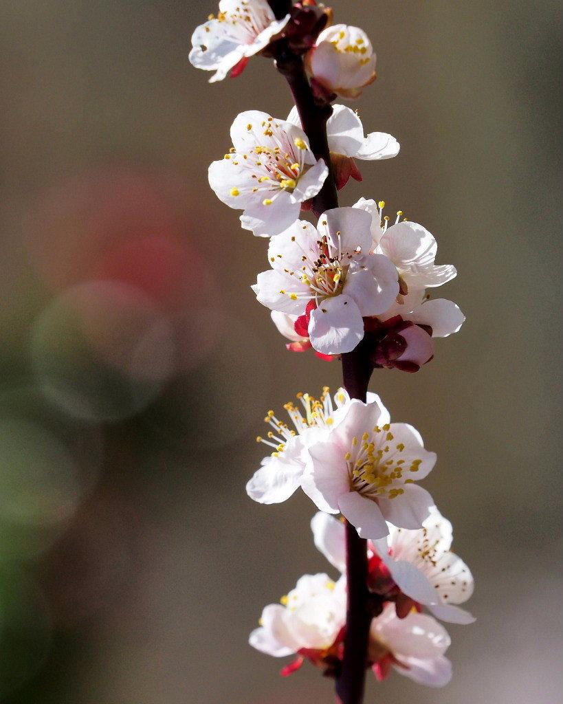 アンズの花をタップリと ほか_c0305565_17462294.jpg