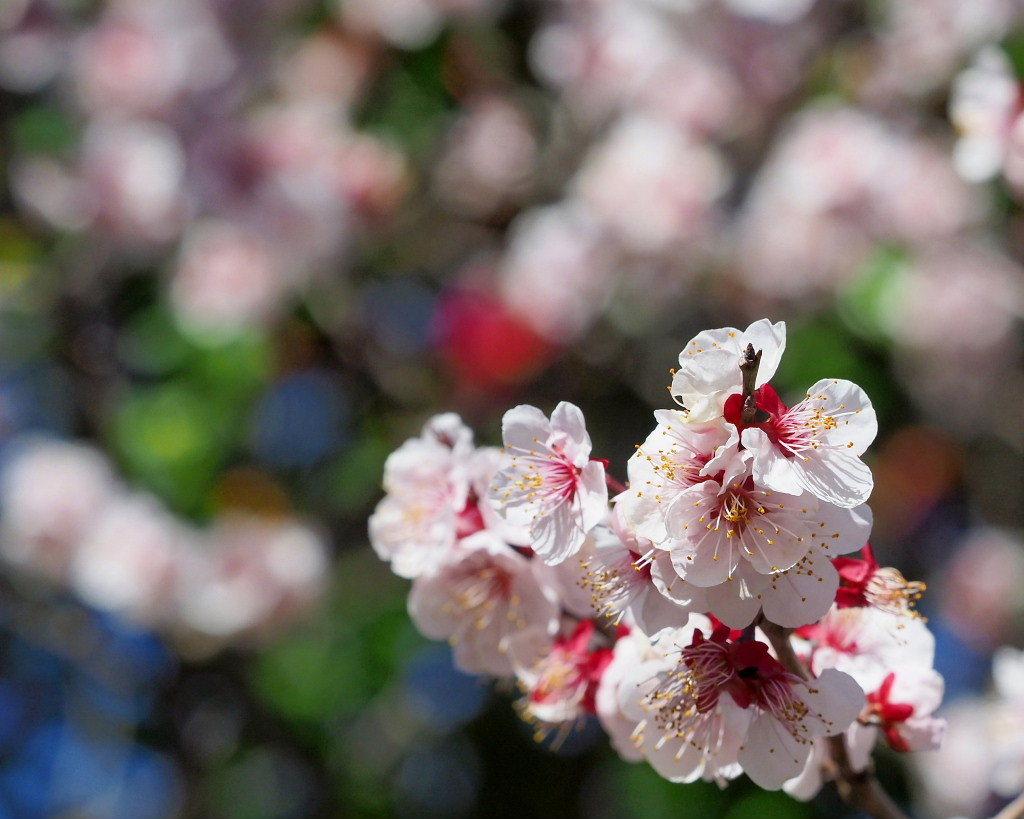 アンズの花をタップリと ほか_c0305565_17463923.jpg