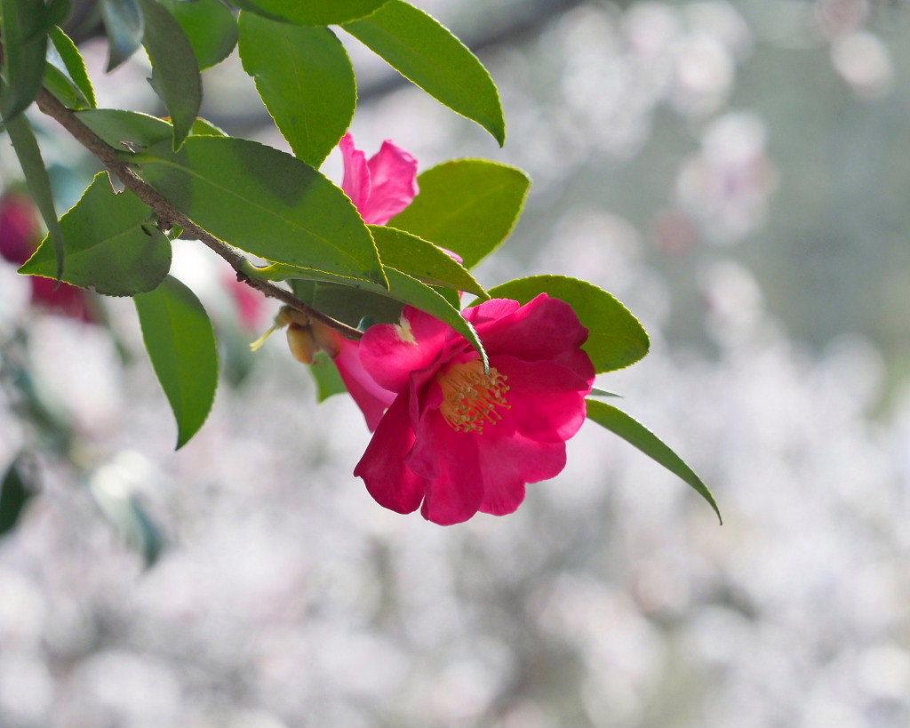 アンズの花をタップリと ほか_c0305565_17465097.jpg