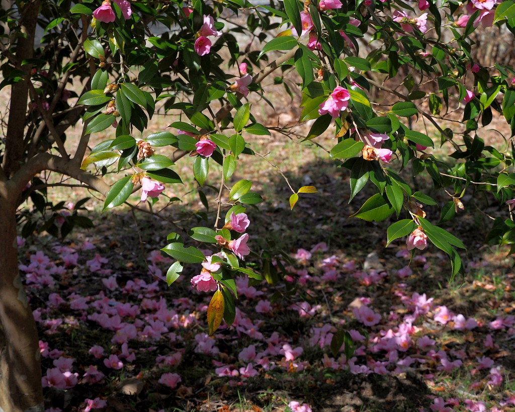 アンズの花をタップリと ほか_c0305565_17472918.jpg